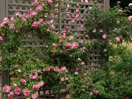 miss gingham climbing roses