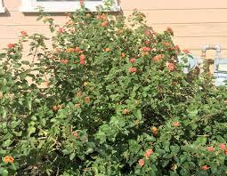 blackfoot native plants it u0027s time to plant fall natives billye adams san gabriel