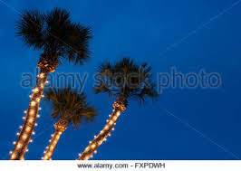 Decorate Palm Trees With Christmas Lights by Palm Trees Decorated With Christmas Lights In The Normandy Isle