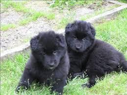 belgian sheepdog youtube black ice belgian sheepdogs puppies