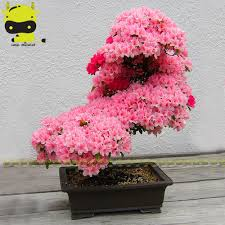 Japanese Cherry Blossom Tree by Japanese Cherry Tree Promotion Shop For Promotional Japanese