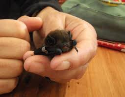 small bat tailed bats ourauckland