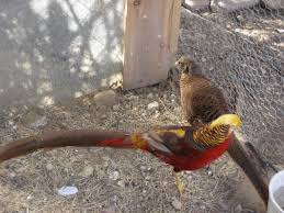 we golden pheasant hatching eggs for sale at www