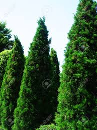 pencil pines grow upright columnar conifer and dense