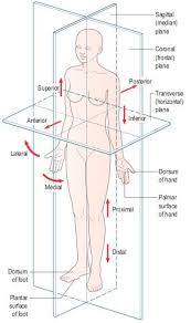 Picture Of Anatomical Position Anatomical Position Showing The Cardinal Planes And Directional