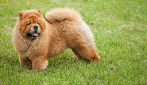 fu dog for sale 15 facts you to before getting a foo dog dog