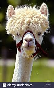 dpa a shorn alpaca with a trendy u0027summer haircut u0027 looks at the