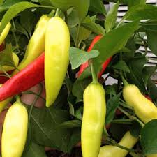 pepper plant vegetable plants edible garden the home depot