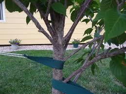 pruning a japanese flowering cherry kwanzan tree ask an expert