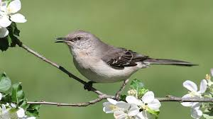 Mississippi Birds images Northern mockingbird jpg
