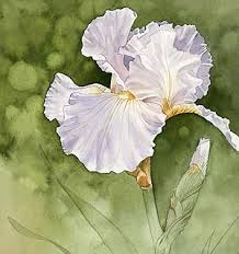 Irises How To Plant Grow by How To Grow Reblooming Irises
