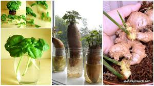 Vegetables You Can Regrow by Keep Fresh Greenery At Grasp With Vegetables That Regrow From