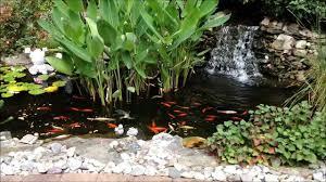 backyard pond goldfish and koi feeding with shih tzu dog lacey