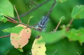 imagenes hermosas que se mueben lymantria dispar orugas se mueven en el bosque hermosa oruga de