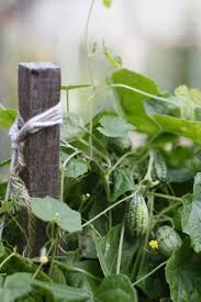 37 best melothria images on pinterest cucumber gardening and