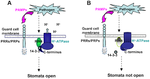 rin4 functions with plasma membrane h atpases to regulate