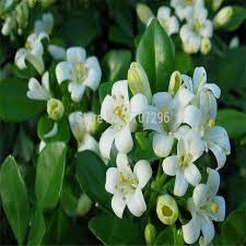 Very Fragrant Plants - bonsai murraya jasmine flower seeds very fragrant the perfumed