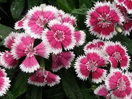 dianthus flower 72 best dianthus garden images on flowers flower