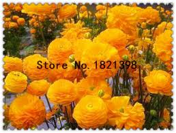 compare prices on ranunculus bulbs online shopping buy low price