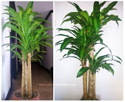 plant of the month dracaena fragrans corn plant fortune plant
