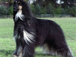 afghan hound top speed afghan hound wallpapers lyhyxx com
