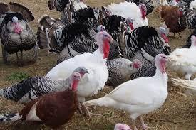 wild turkey pictures photo gallery