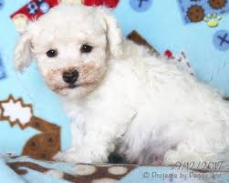 bichon frise breeders in pa lewis bichon frise puppy for sale in millmont pa lancaster