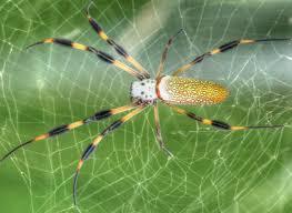 golden silk orb weaver spider youtube