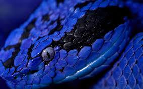 wallpaper download 2560x1600 photo wallpaper animal blue snake