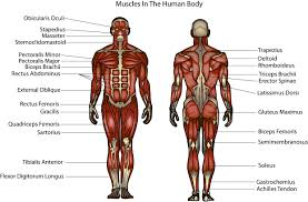 Human Body Muscles Images Anatomy Of Bones And Muscles In Human Body 10 Images About Muscle