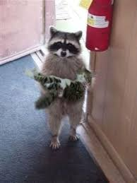 Meme Generator Raccoon - raccoon cat blank template imgflip