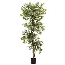 darby home co variegated ficus tree in pot reviews wayfair
