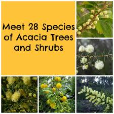 australian native plants pictures and names acacia trees and shrubs from around the world