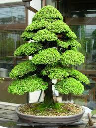 aliexpress buy 100 pcs bag sacred japanese cedar seeds