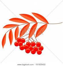 detailed drawing rowan rowanberry vector photo bigstock