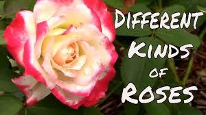 roses colors different types of roses hybrid tea floribunda and grandiflora