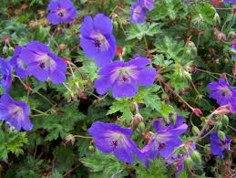 buy hardy geraniums by mail order
