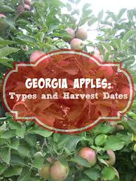 types of apples in georgia u0026 best time to pick them