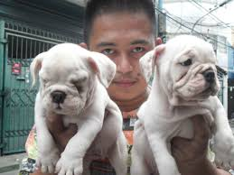 bichon frise for sale philippines quality english bulldog puppies for sale