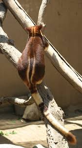 buergers tree kangaroo