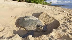 imagenes tortugas verdes por qué la mayoría de las tortugas verdes son hembras tele 13