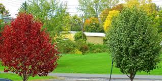 yellow brown leaves on bradford pear trees watering
