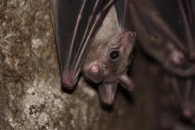 granite geek soil bacteria fights white nose syndrome in bats