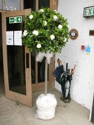 Pre Lit Topiary Topiary Tree With White Roses January Wedding Pinterest