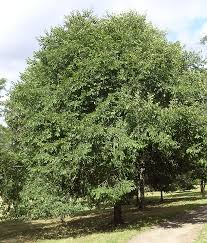 plants native to japan japanese elm tree facts u2013 tips on growing japanese elm trees