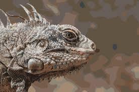 Iguana Island Clipart Endangered Species Iguana Iguana From Margarita Island