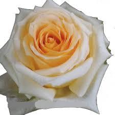 roses online buy wholesale wedding roses in bulk online danisa s flowers