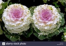 two stunning ornamental kale cabbage plants brassica oleracea