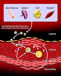 dynamic interplay between smooth muscle cells and macrophages in