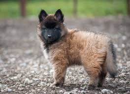 belgian shepherd wolf mix baby tervuren looks like a cross between a wolf and a fox wolf